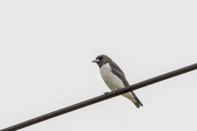 Weißbauch-Schwalbenstar / White-breasted Woodswallow