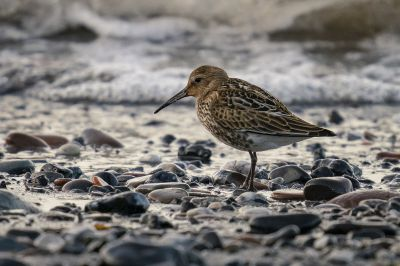 Alpenstrandläufer / Dunlin