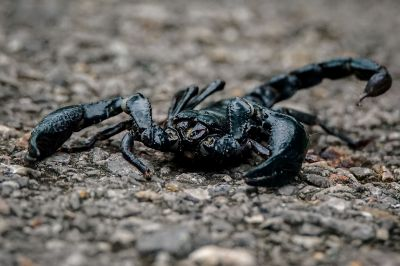 Schwarzer Laos-Skorpion / Asian Forest Scorpion