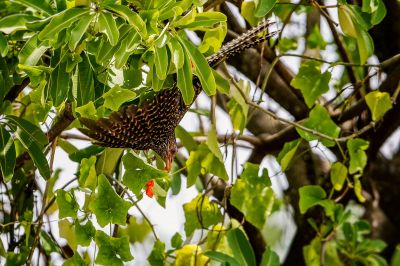 Indischer Koel (W) / Asian Koel - Common Koel
