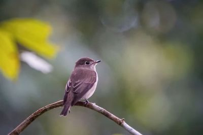 Braunschnäpper / Asian Brown Flycatcher
