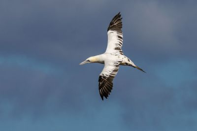 Basstölpel (Immature) / Northern Gannet