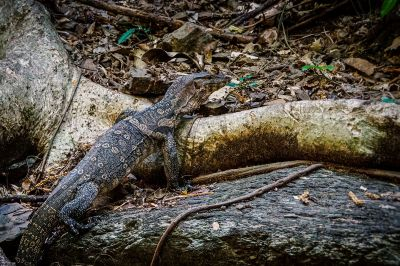 Bindenwaran / Asian water monitor