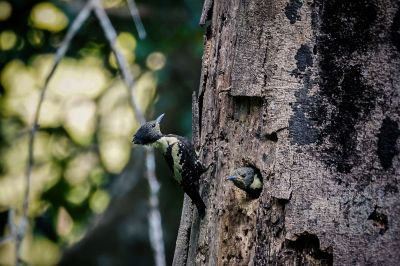Dommelspecht (M&W) / Black-and-buff Woodpecker