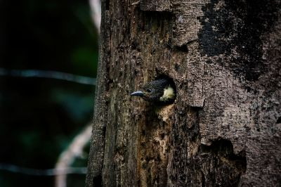Dommelspecht (M) / Black-and-buff Woodpecker