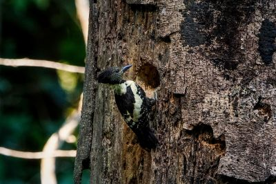 Dommelspecht (W) / Black-and-buff Woodpecker