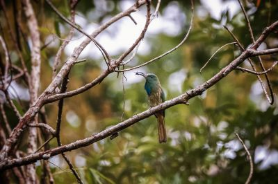 Blaubartspint / Blue-bearded Bee-eater