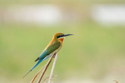 Blauschwanzspint / Blue-tailed Bee-eater
