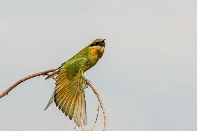 Blauschwanzspint (J) / Blue-tailed Bee-eater