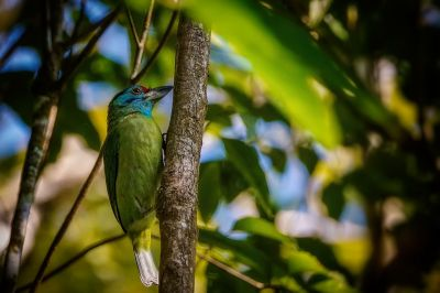 Blauwangen-Bartvogel / Blue-throated Barbet