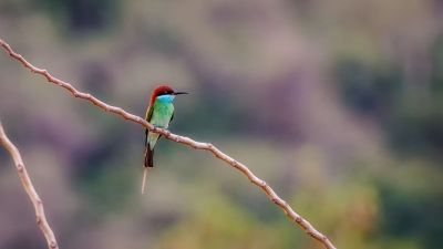 Malaienspint / Blue-throated Bee-eater