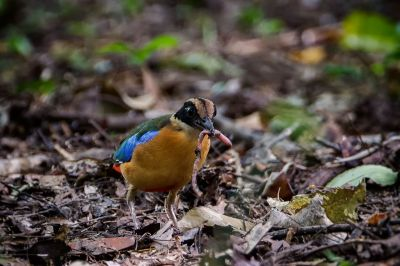 Kleine Blauflügelpitta / Blue-winged Pitta