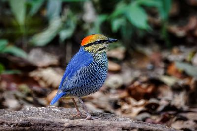 Blaupitta / Blue Pitta