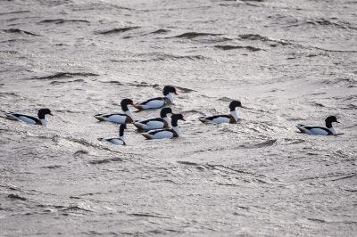 Brandgans / Common Shelduck