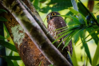 Falkenkauz / Brown Hawk-owl - Brown Boobook