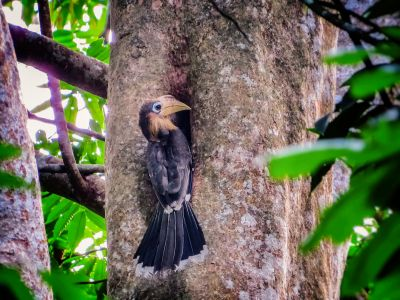 Rostbauch-Hornvogel / Tickell's Brown Hornbill