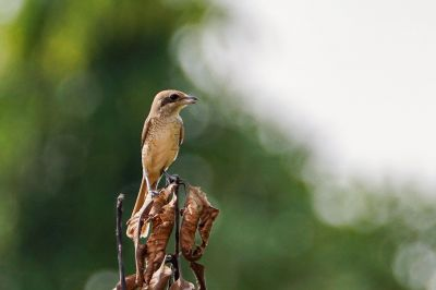 Braunwürger / Brown Shrike