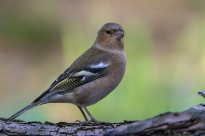 Buchfink (M) / Common Chaffinch