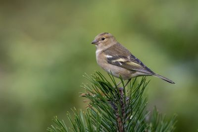 Buchfink (F) / Common Chaffinch