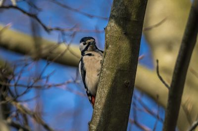 Buntspecht / Great Spotted Woodpecker