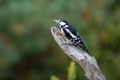 Buntspecht (W) / Great Spotted Woodpecker