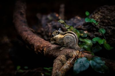 Himalaya-Streifenhörnchen / Himalayan striped Squirrel - Burmese striped Squirrel