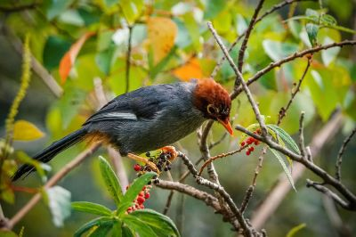 Spiegelhäherling / Chestnut-capped Laughingthrush - Spectacled Laughingthrush