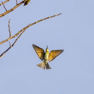 Braunkopfspint / Chestnut-headed Bee-eater