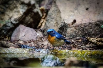 Blaukehlschnäpper (M) / Blue-throated blue flycatcher - Chinese blue flycatcher