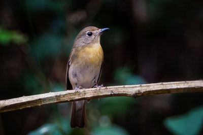 Blaukehlschnäpper (W) / Blue-throated blue flycatcher - Chinese blue flycatcher