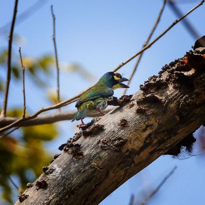 Kupferschmied / Coppersmith Barbet