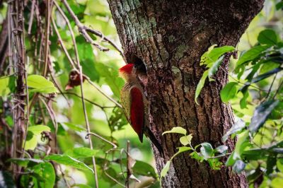 Rotflügelspecht (M) / Crimson-winged Woodpecker