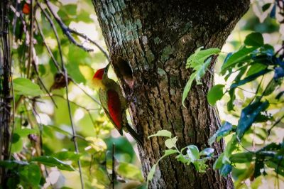 Rotflügelspecht (W) / Crimson-winged Woodpecker