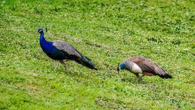 Blauer Pfau (M&W) / Indian Peafowl (Blue Peafowl)