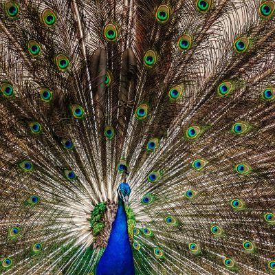 Blauer Pfau (M) / Indian Peafowl (Blue Peafowl)