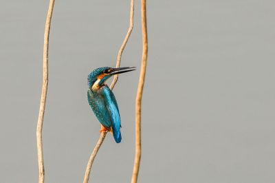 Eisvogel (M) / Common Kingfisher