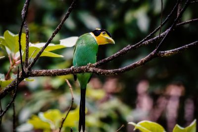 Papageibreitrachen / Long-tailed Broadbill