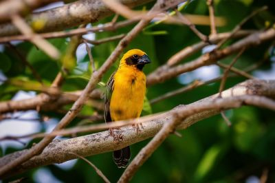 Kernbeißerweber (M) / Asian Golden Weaver