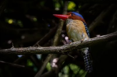 Wellenliest (M) / Banded Kingfisher