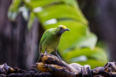 Goldstirn-Blattvogel (J) / Golden-fronted Leafbird