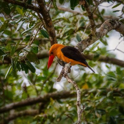 Braunflügelliest / Brown-winged Kingfisher