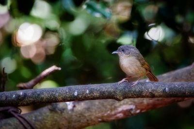 Graukopfalcippe / Brown-cheeked Fulvetta