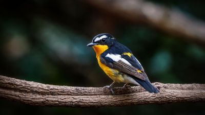 Goldschnäpper (M) / Yellow-rumped Flycatcher