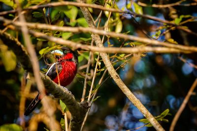 Kellenschnabel-Breitrachen / Black-and-red Broadbill