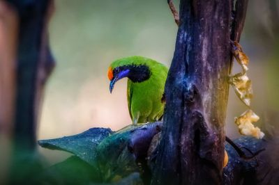 Goldstirn-Blattvogel (M) / Golden-fronted Leafbird