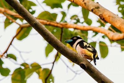 Halsband-Breitrachen (M) / Black-and-yellow Broadbill