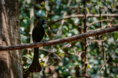 Spatelbaumelster / Racket-tailed Treepie
