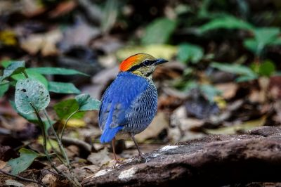 Blaupitta (M) / Blue Pitta