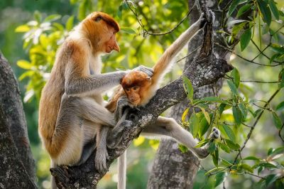 Nasenaffe (W&J) / Proboscis monkey - Long nosed monkey