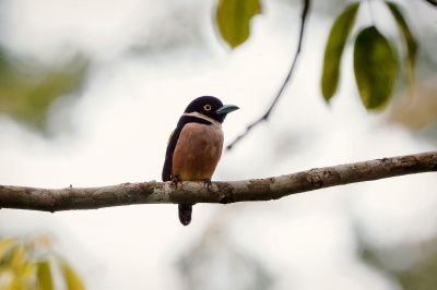 Halsband-Breitrachen (W) / Black-and-yellow Broadbill